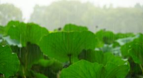 Some lotus leaf are standing in the pond when it is raining. Some lotus flowers are standing in the rain.It is raining heavy now.The raindrop is big stock images