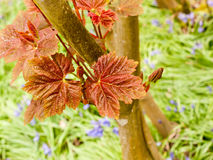Some Lovely Red Leaves upon two Branches Royalty Free Stock Images