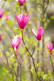 Magnolia. Some magnolia flowers are blossoming royalty free stock photos