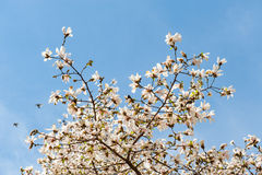 Some magnolia flowers. In spring park stock image