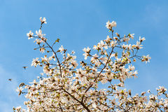 Some magnolia flowers. In spring park stock photography