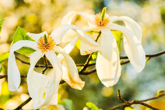 Some magnolia flowers. In spring park stock images