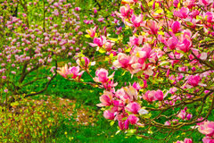 Some magnolia flowers trees closeup. View to magnolia flowers trees closeup stock image