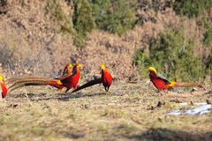 Golden pheasant. Some of male Golden pheasant stand on ground in mountain forest. Scientific name: Chrysolophus pictus Stock Image