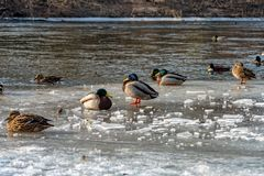 Mallard Ducks on the frozen Saale in Jena. Some Mallard Ducks on the frozen Saale in Jena Royalty Free Stock Images