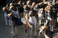 Gundogs At Château De Cheverny. These are some of the many gundogs held at the Château De Cheverny in France. In fall they are showing the visitors live Stock Photos