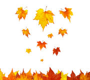 Some maple leaves falling. Somes maple leaves falling on white background royalty free stock photo