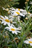 Some marguerite blossoms with raindrops on petals. And green leaves stock images