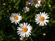 Some marguerite blossoms Stock Photo