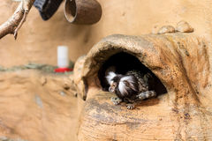 Some marmosets. At entrance of burrow Stock Photography