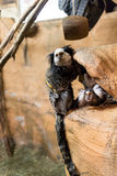 Some marmosets playing Stock Photo