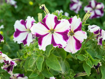 Some mix colored flowers petunias on the flowerbed. Three flowers petunias in focus on the flowerbed. White and violet colored, grandiflora form flowers. Sunny stock image
