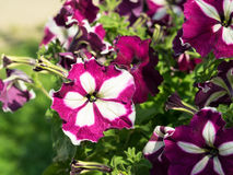 Some mix colored flowers petunias on the flowerbed. Royalty Free Stock Photos