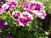 Some mix colored flowers petunias in focus on the flowerbed. Some flowers petunias in focus on the flowerbed. Mix colored, white and pink. Sunny summer day stock image