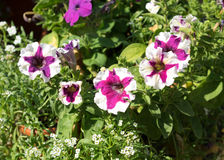 Some mix colored flowers petunias like smile on the flowerbed. Royalty Free Stock Photos