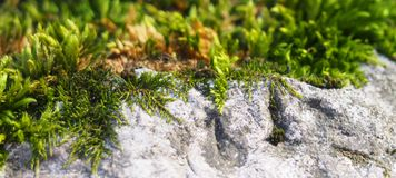 Some moss on a rock. Some green moss on a rock stock photography