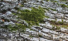 Some moss on a wood. In a forest royalty free stock photos