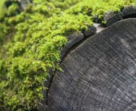 Some moss on a wood. In a forest Stock Photography