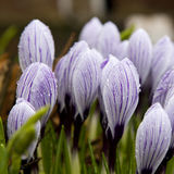 Some multi-colored snowdrops, crocuses. Against a green grass Stock Image