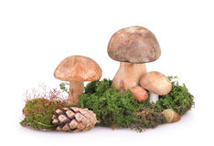 Some mushrooms with cones and acorns Royalty Free Stock Images