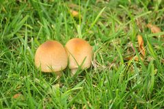 Mushrooms in the grass. Some mushrooms in the grass Stock Photography