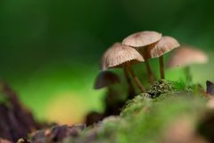 Some mushrooms in on the ground. Light mushrooms with a dark background in the autumn in a forest stock image