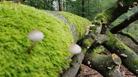 Mushrooms on tree with moss. Some mushrooms on a tree covered with a lot of moss Royalty Free Stock Images