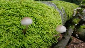 Mushrooms on tree with moss. Some mushrooms on a tree covered with a lot of moss stock image