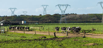 New Zealand Dairy Cows. Some New Zealand dairy cows going back to the paddock after milking royalty free stock photos