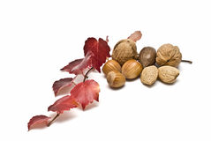 Some nuts and an ivy branch. Royalty Free Stock Image