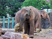 Elephants eating in a zoo in Ireland Stock Photo