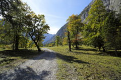 Some old maple trees. In the austrian mountains stock photo