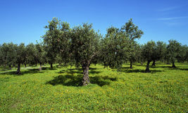 Some old olive trees in Sicily. A plantation of old olive trees in Sicily stock photos