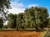 Olive tree in the Salento countryside of Puglia. Some Olive tree in the Salento countryside of Puglia stock photos