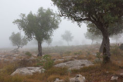 Some olive trees. Isolated in the fog royalty free stock photo