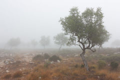 Some olive trees. Isolated in the fog stock photography