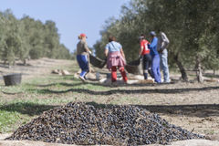 Some olives on top of a sack on the floor during the harvest of. Jaen, Spain - January 2, 2016: Some olives on top of a sack on the floor during the harvest of stock photo
