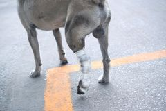 Some one very kind help the dog broken leg for veterinary and ta. Ke care him to the house stock image