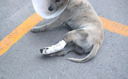Some one very kind help the dog broken leg for veterinary and ta. Ke care him to the house royalty free stock photo