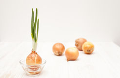 Some onions and one onion with green feathers on white wooden ba. The cultivation of onion on white wooden background Stock Images