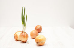 Some onions and one onion with green feathers on white wooden ba. The cultivation of onion on white wooden background Royalty Free Stock Photos