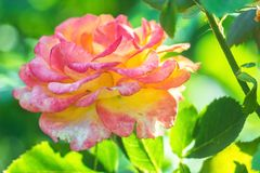 Some orange yellow pink roses in the garden against green background, flowers in bloom closeup. Some orange yellow pink roses in the garden against green Stock Photography