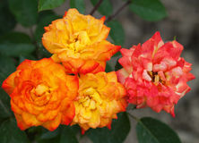 Some orange yellow roses. In the garden stock images