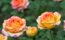 Some orange yellow roses. In the garden stock image