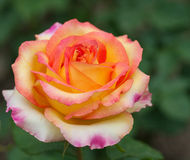 Some orange yellow roses Stock Photo
