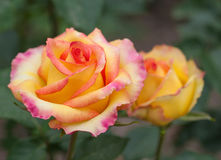 Some orange yellow roses. In the garden Royalty Free Stock Image