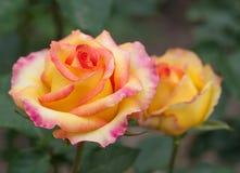 Some orange yellow roses Royalty Free Stock Image