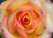 Some orange yellow roses Stock Images