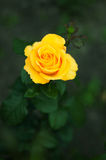 Some orange yellow roses in the garden.  royalty free stock images