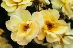 Some orange yellow roses in the garden Stock Photos